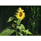 311025 Sunflower, painting by Rhia Janta-Cooper