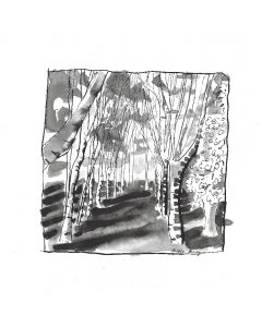 Copse of Young Birch Trees. 2.  Cotswolds, Gloucestershire