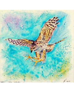 Swooping In' Hobby Falcon