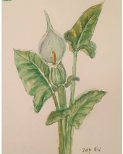 Botanical Study  ''Lords and Ladies' original watercolour study