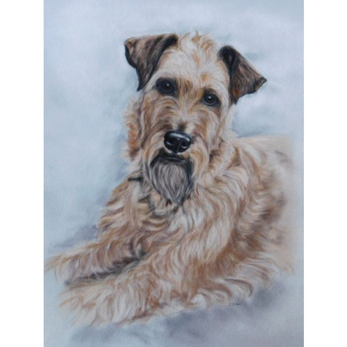 Irish Terrier - Expressions