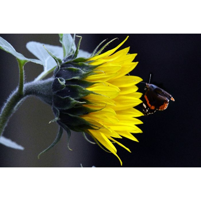 Sunflower and Red Admiral
