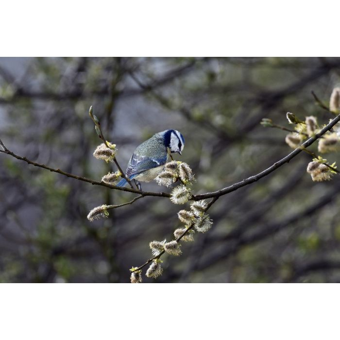 Blue Tit on Willow