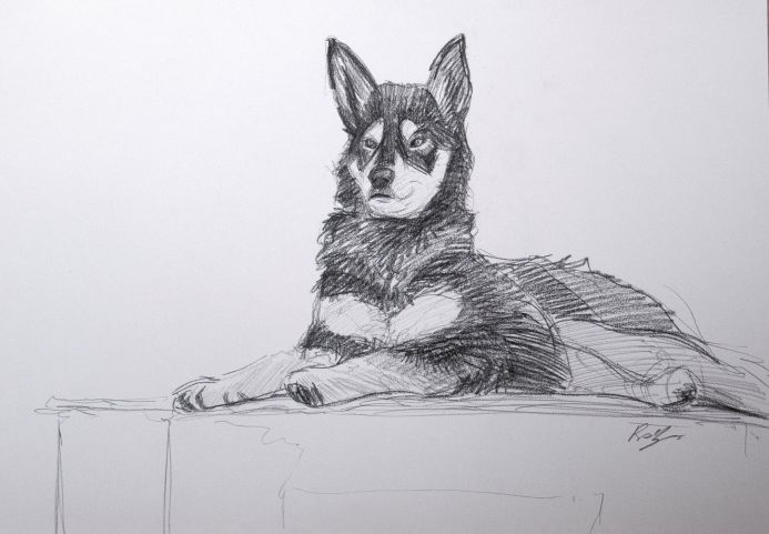 Japanese Sakhalin Husky study. Dog. Portrait. Sketch. Drawing