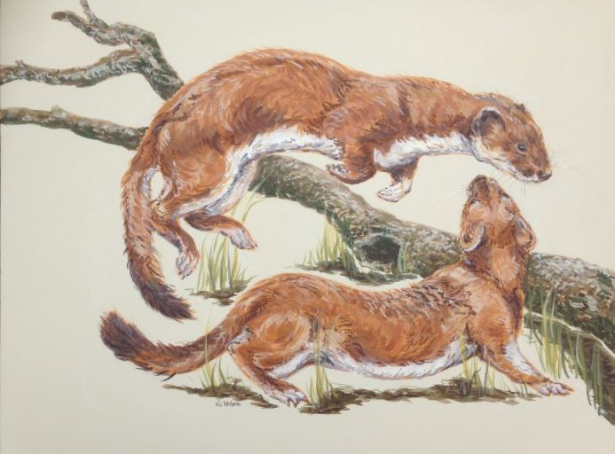 Stoats Rough and Tumble