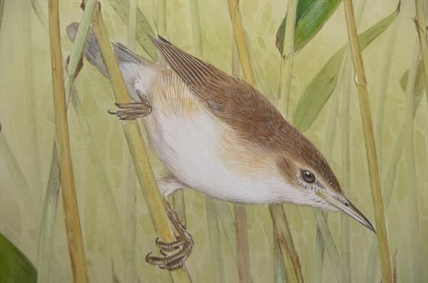 Reed Warbler By Wayne Ford Artgallery Co Uk